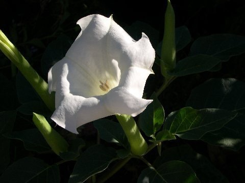 moon flower original
